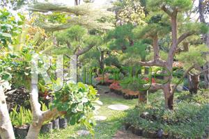 Beberapa jenis tanaman bonsai